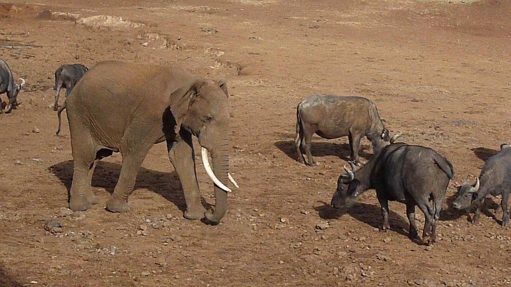 Elephant chasing water buffalo, Kenya - photo by E. Jurus