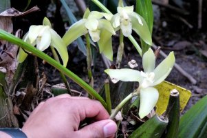 Our orchid guide, Joseph, explains the physiology of these beautiful plants