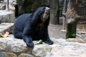 Spectacle bears are sweet and gentle herbivores; they love avocados
