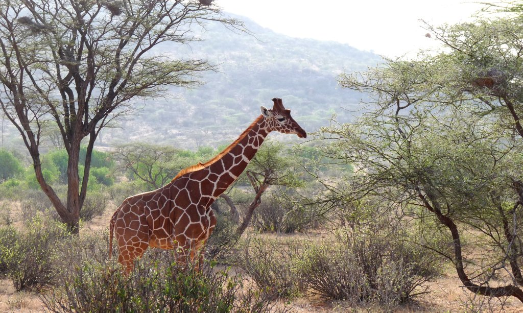 A Reticulated Giraffe in Samburu Reserve, Kenya - photo by E. Jurus