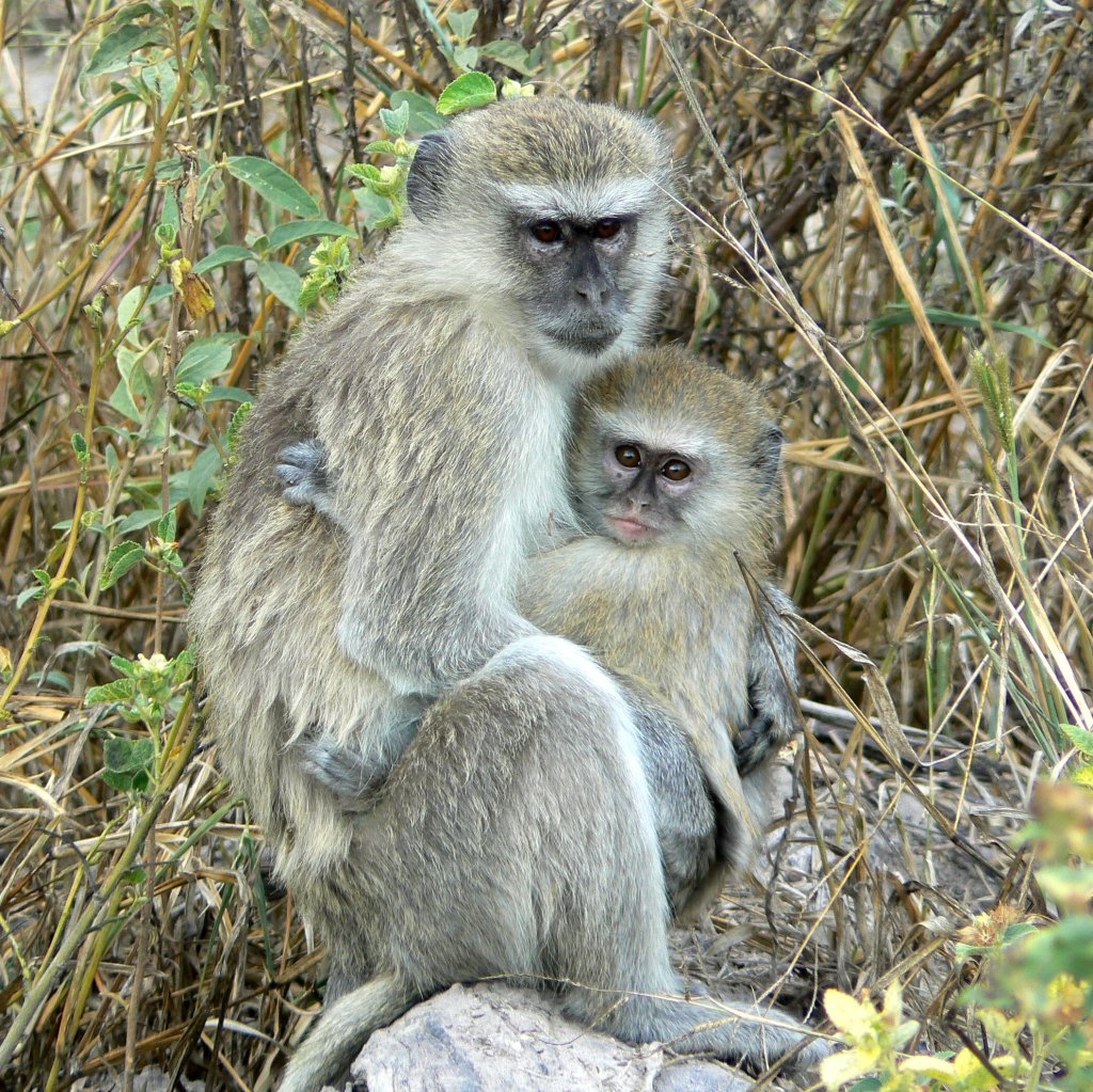 Adult and baby vervet monkey, Botswana - photo by E Jurus