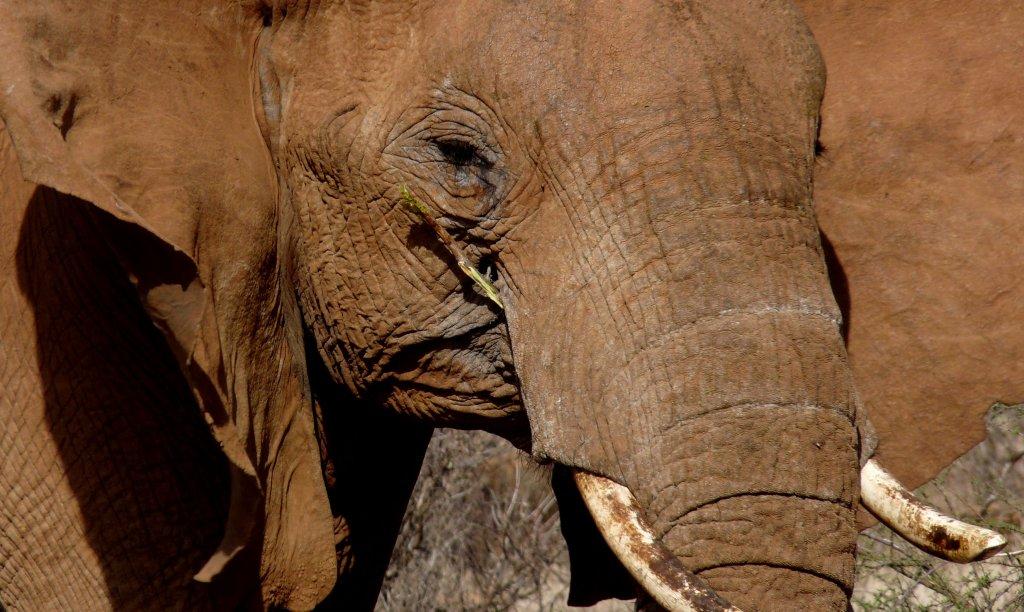 Dirt-coated elephant, Samburu Reserve, Kenya - photo by E. Jurus