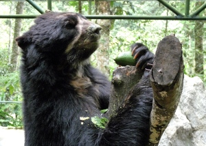 Spectacled Bears love avocados! - photo by E. Jurus