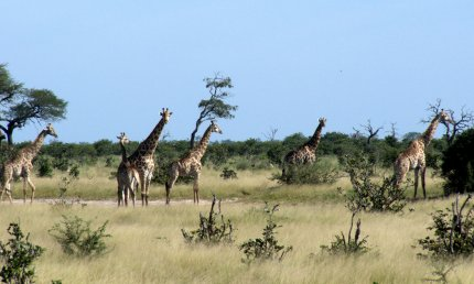 Herd of giraffes, Savute Reserve, Botswana - photo by E. Jurus