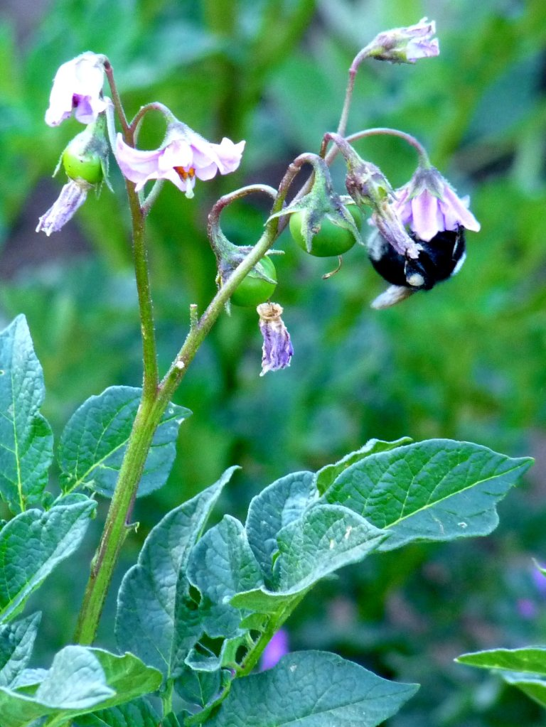 Bee in our homestay's kitchen garden, Amantani Island, Lake Titicaca Peru - photo by E. Jurus