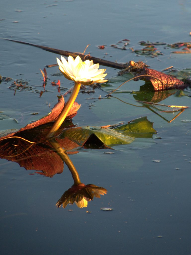 Night lily at sunset in the Okavango Delta, Botswana - photo by E. Jurus