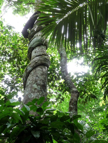 A parasitic vine slowly throttles a supporting tree - photo by E. Jurus