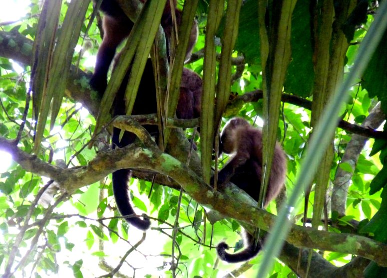 Brown capuchin monkeys hide in the branches - photo by E. Jurus