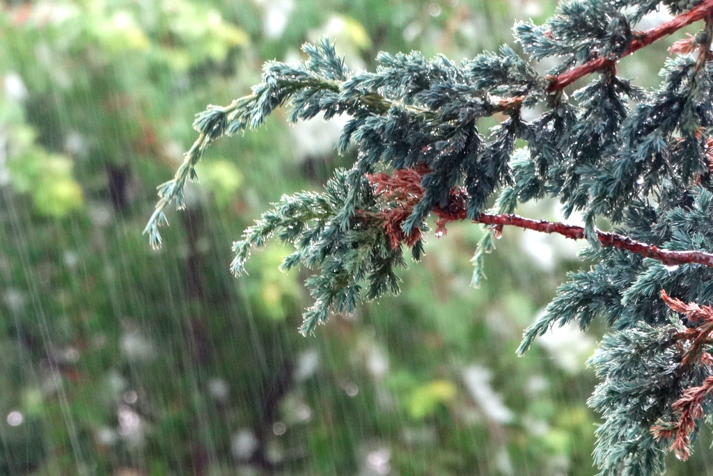 Rain falling on a juniper branch